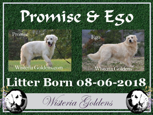 Promise Litter Born 08-06-2018 Promise/Ego English Cream Golden Retriever Puppies for Sale Wisteria Goldens Bred with HEART Puppy Pictures and Availability