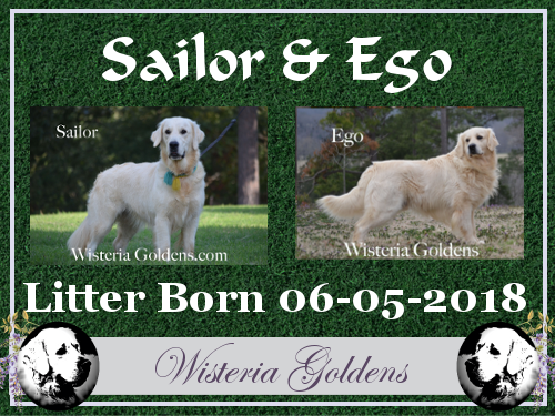 Sailor Litter Born 06-05-2018 Sailor/Ego English Cream Golden Retriever Trained Puppies Wisteria Goldens Bred with HEART