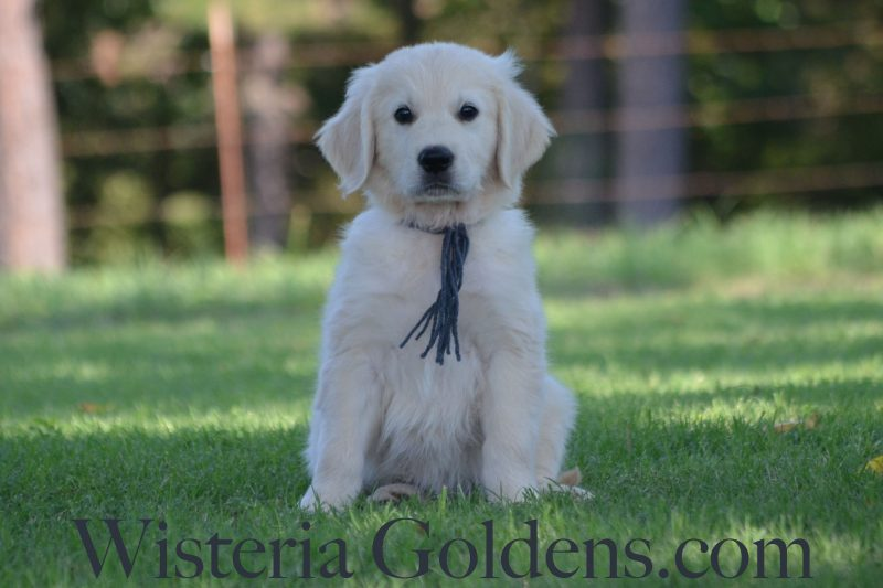 Eight Week Pictures Sailor Litter Born 06-05-2018 Available English Cream Golden Retriever Puppies for sale