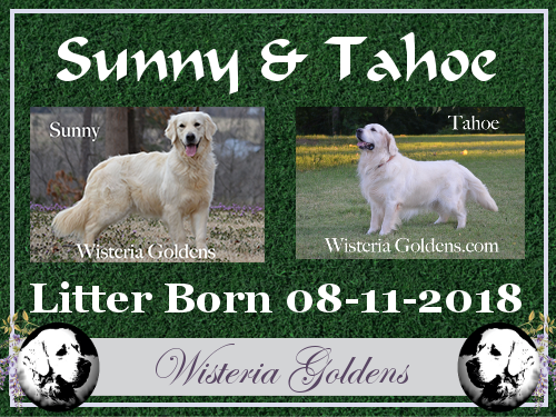 Sunny Litter Born 08-11-2018. Sunny/Tahoe English Cream Golden Retriever Puppies for Sale Wisteria Goldens Bred with HEART AKC English Golden Retrievers.