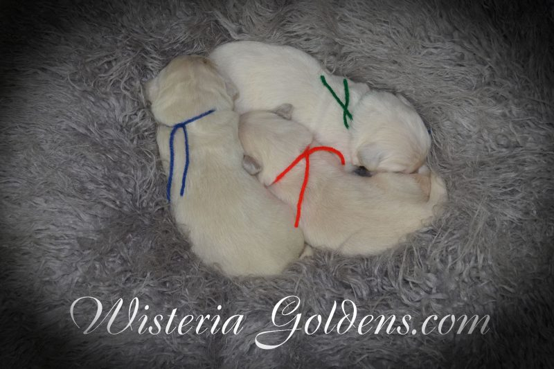 Sunny Litter Born 08-11-2018. Sunny/Tahoe – Litter Born 8/11/2018. 4 girls and 3 boys. English Cream Golden Retriever Puppies for Sale Wisteria Goldens Bred with HEART (AKC Registered English Golden Retriever)