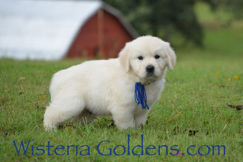Angel Litter Born 08-13-2018 English Cream Golden Retriever puppies for sale Wisteria Goldens Bred with H.E.A.R.T. AKC Registered English Goldens English Golden Retriever puppies for sale.