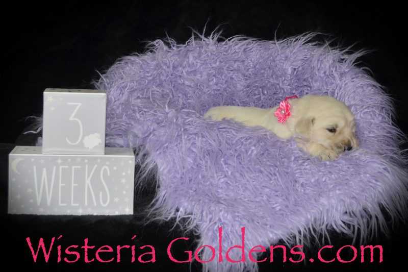 Angel Litter Born 8/13/2018. 3 girls and 2 boys. English Cream Golden Retriever puppies for sale Wisteria Goldens Bred with HEART AKC registered English Golden Retrievers