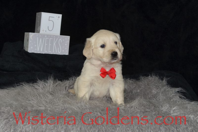 Angel Litter Born 08-13-2018 Angel/Chance 3 girls and 2 boys. FIVE Week Pictures English Cream Golden Retriever puppies for sale Wisteria Goldens Bred with HEART AKC Registered English Golden Retriever puppies