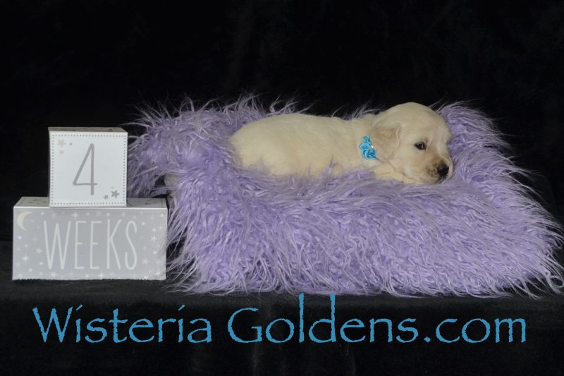Angel Litter Born 08-13-2018 Angel/Chance 3 girls and 2 boys. English Cream Golden Retriever puppies for sale. Wisteria Goldens Bred with HEART AKC Registered English Golden Retrievers.