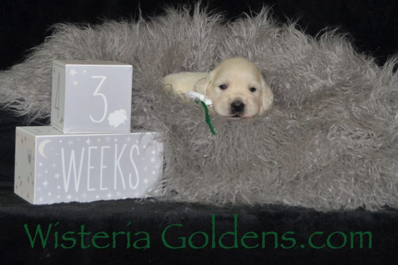 Brighton Litter Born 08/25/2018. Brighton/Chance. 2 girls and 5 boys. English Cream Golden Retriever puppies for sale Wisteria Goldens Bred with HEART AKC Registered English Golden Retrievers. Three Week Pictures The Girls Pink Girl - 3.4 lbs Teal Girl - 3.4 lbs The Boys Red Boy - 3.6 lbs Green Boy - 3.10 lbs Blue Boy - 2.8 lbs Black Boy - 2.15 lbs Orange Boy - 2.14 lbs