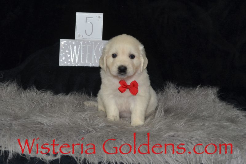 Brighton Litter Born 08-25-2018 Brighton/Chance Five Week Pictures English Cream Golden Retriever Puppies for Sale Wisteria Goldens BRED with HEART AKC Registered English Goldens (visit our website for current puppy availability and trained puppy availability)
