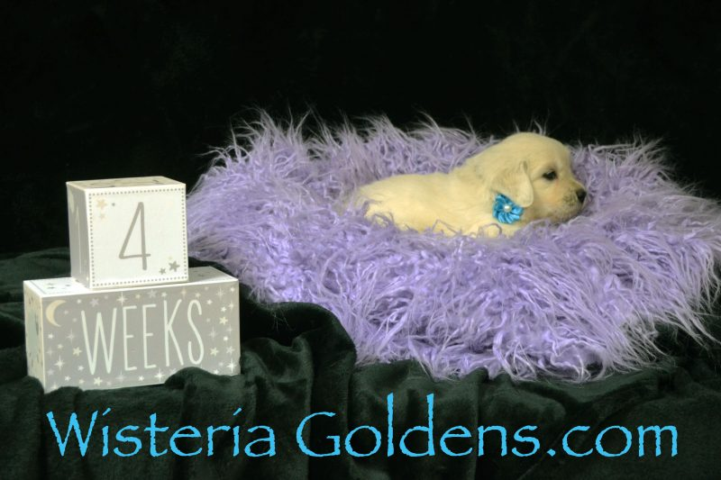 Brighton Litter Born 08-25-2018 2 girls and 4 boys. Brighton/Chance English Cream Golden Retriever puppies for sale Wisteria Goldens Bred with Heart AKC Registered English Golden Retriever