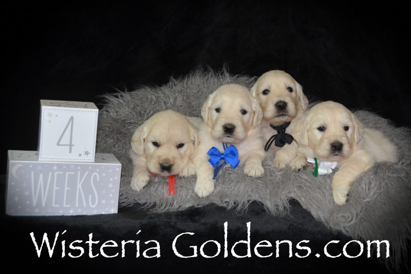 Promise Litter Litter Born 8/6/2018. 4 girls and 4 boys. English Cream Golden Retriever puppies for sale Wisteria Goldens Bred with HEART AKC registered English Golden Retrievers