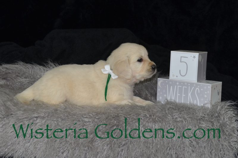 Promise Litter Born 08-06-2018 Promise/Ego four girls four boys English Cream Golden Retriever Puppies Wisteria Goldens AKC Registered English Golden Retrievers for sale
