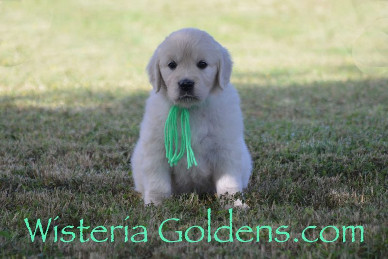 Promise Litter Born 08-06-2018 Promise/Ego Six Week Pictures English Cream Golden Retriever puppies for sale Wisteria Goldens Bred with HEART AKC Registered English Golden Retriever puppies