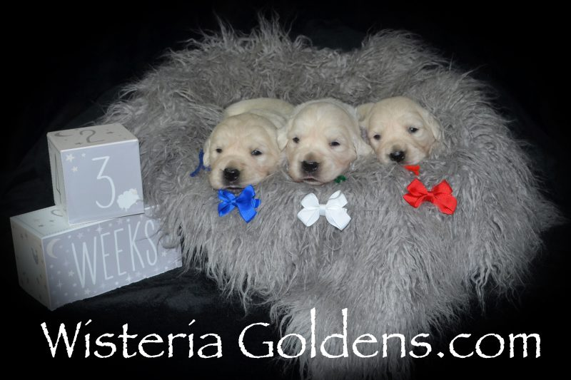 Sunny Litter Born 8/11/2018. Sunny/Tahoe. 4 girls and 3 boys English Cream Golden Retreiver Puppies for Sale Wisteria Goldens Bred with HEART AKC Registered English Golden Retriever Our English Cream Golden Retrievers are raised as part of our family, until they become part of yours!