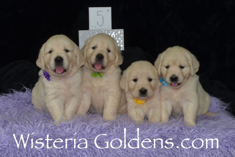 Sunny Litter Born 8/11/2018. Sunny and Tahoe. 4 girls and 3 boys. English Cream Golden Retriever puppies for sale Wisteria Goldens Bred with HEART AKC Registered English Golden Retrievers. Five Week Pictures The Girls Teal Girl - 6.2 lbs Lime Girl - 6.1 lbs Purple Girl - 6.13 lbs Yellow Girl - 5.14 lbs The Boys Red Boy - 5.9 lbs Blue Boy - 6.10 lbs Green Boy - 6.1 lbs