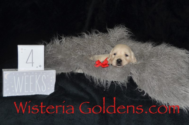 Sunny Litter Born 08-11-2018 Sunny/Tahoe Four Week Pictures. English Cream Golden Retriever Puppies for Sale. Wisteria Goldens Bred with HEART (AKC REGISTERED PUPPIES English Golden Retrievers).
