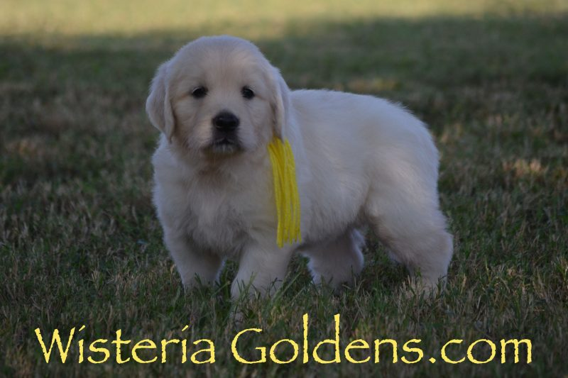 Sunny Litter Born 08-11-2018 English Cream Golden Retriever puppies for sale Wisteria Goldens Bred with HEART REGISTERED AKC English Golden Retrievers Puppy Pictures Six Week puppy pictures and playtime video