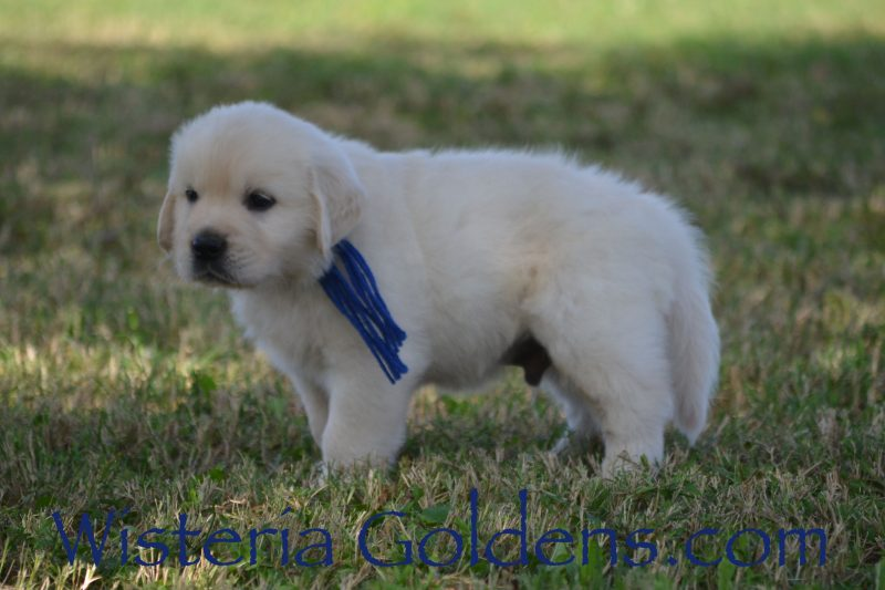 Brighton Litter Born 08-25-2018 Brighton/Chance English Cream Golden Retriever Puppies for sale Wisteria Goldens Bred with HEART AKC Registered English Golden Retrievers