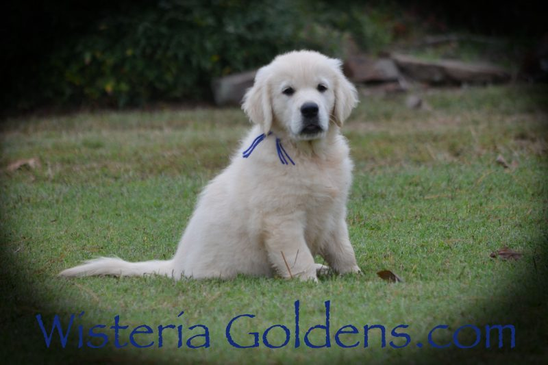Nine week pictures. Tucker (Blue Boy) Sunny/Tahoe Litter Born 08-11-2018 English Cream Golden Retriever puppies for sale Wisteria Goldens