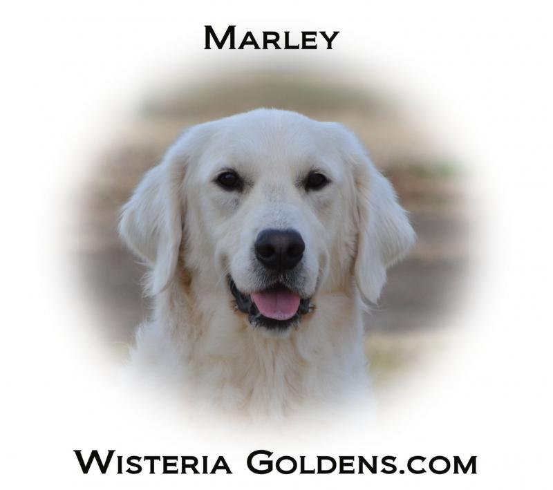 Meet Our Girls Marley English Cream Golden Retriever Wisteria Goldens
