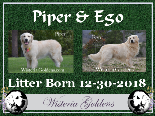 English Cream Golden Retriever Puppies For Sale Wisteria Goldens