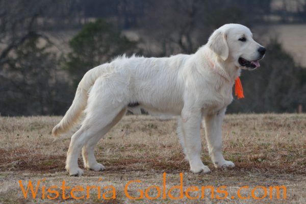 Trained Puppies Wisteria Goldens English Cream Golden Retriever Bred with HEART Registered AKC English Golden Six Month Old Trained Puppy for Sale