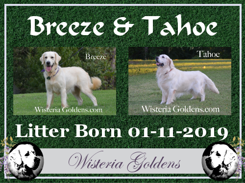 Breeze Litter Born 01-11-2019 English Cream Golden Retriever puppies for sale Wisteria Goldens BRED with HEART AKC Registered English Goldens Breeze/Tahoe Litter Hashtag #Breeze011119 Share pictures on Instagram using the litter hashtag to connect with Happy Families