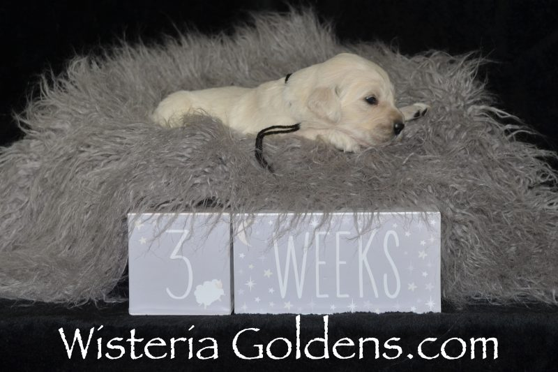 Keeva Litter Born 01-06-2019 English Cream Golden Retriever puppies for sale Wisteria Goldens Bred with HEART AKC Registered English Golden