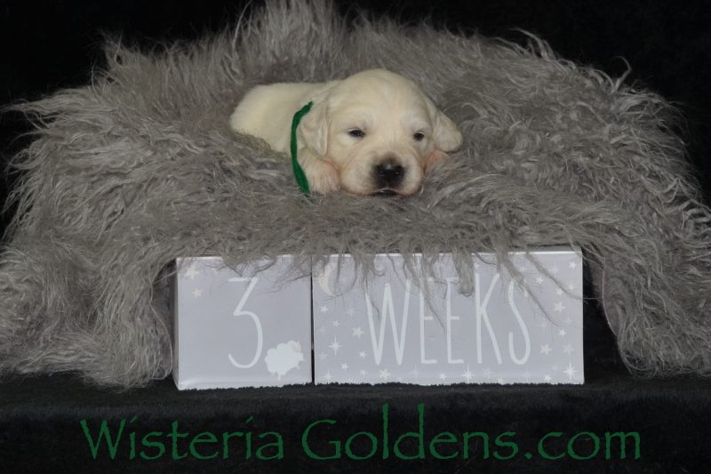 Marley Litter Born 01-10-2019 Three Week Pictures English Cream Golden Retriever puppies for sale Wisteria Goldens Bred with HEART AKC Registered English Golden #marley011019