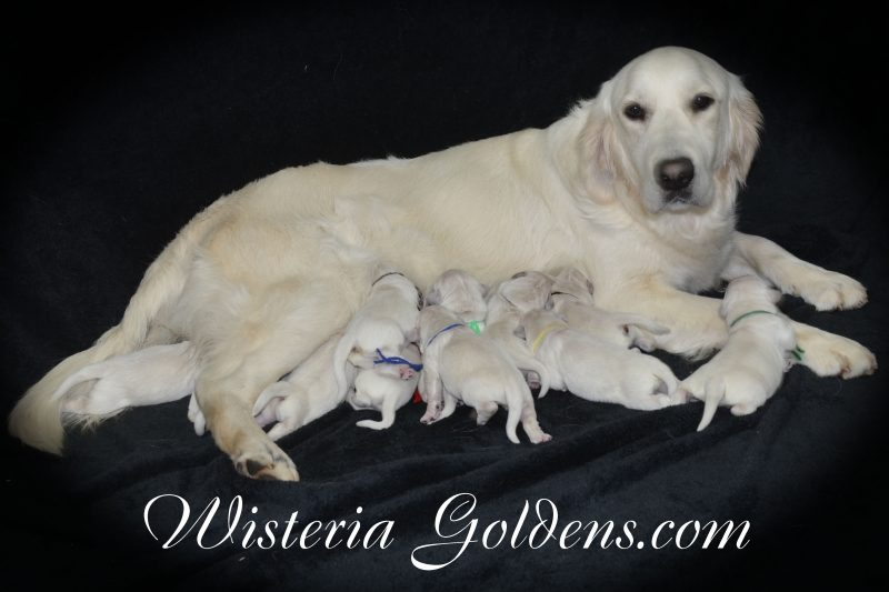Marley Litter Born 01-10-2019 English Cream Golden Retriever puppies for sale Wisteria Goldens Bred with HEART AKC Registered English Golden
