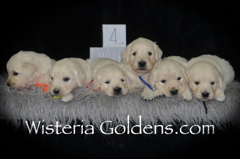 Piper Litter Born 12-30-2018 English Cream Golden Retriever puppies for sale Wisteria Goldens Bred with HEART AKC Registered English Golden