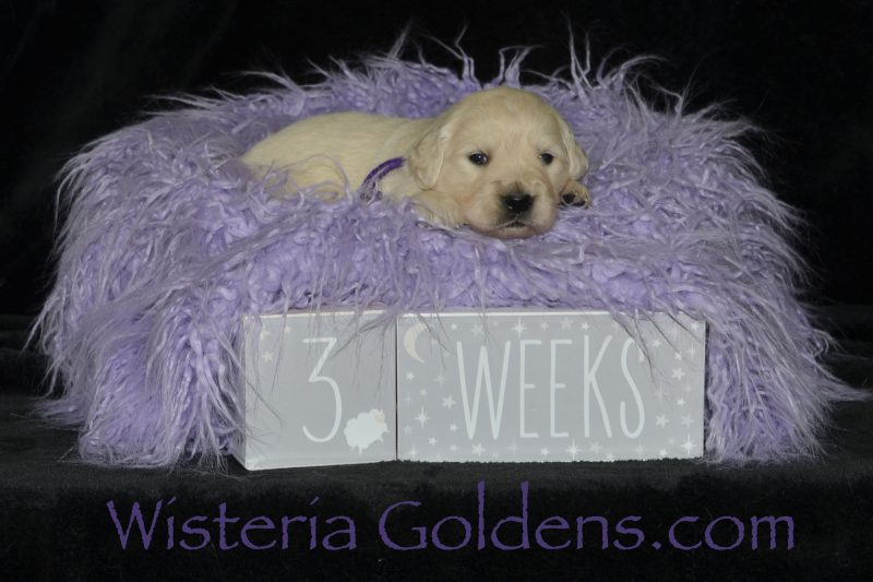 Piper Litter Born 12-30-2019 English Cream Golden Retriever puppies for sale Wisteria Goldens Bred with HEART AKC Registered English Golden