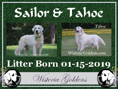 Sailor Litter Born 01-15-2019 English Cream Golden Retriever puppies for sale Wisteria Goldens Bred with HEART AKC Registered English Golden