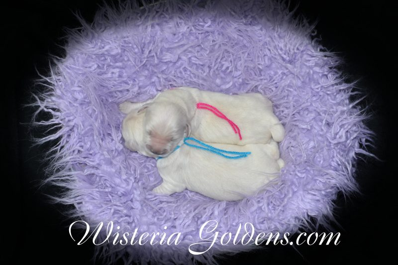Sailor Litter Born 01-15-2019 Sailor/Tahoe 2 Girls and 8 Boys English Cream Golden Retriever Puppies for sale. Wisteria Goldens BRED with HEART AKC Registered English Golden