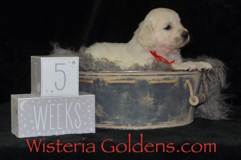 Breeze Litter Born 01-11-2019 Social Media Hashtag #breeze011119 Five Week Pictures English Cream Golden Retriever puppies Wisteria Goldens Bred with HEART AKC Registered English Golden