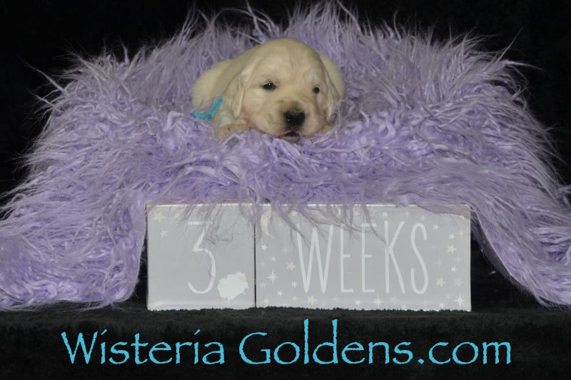Breeze Litter Born 01-11-2019 English Cream Golden retreiver puppies for sale Wisteria Goldens Bred wtih HEART AKC Registered English Golden