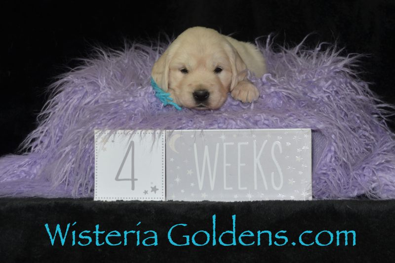 Breeze Litter Born 01-11-2019 Four Week Pictures English Cream Golden Retriever puppies Wisteria Goldens Bred with HEART AKC Registered English Goldens