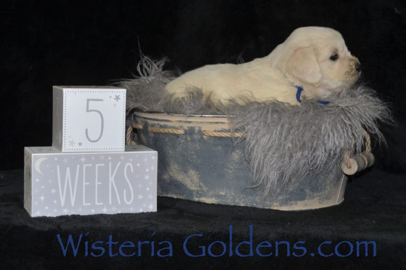 Keeva Litter Born 01-06-2019 Five Week Pictures English Cream Golden Retriever puppies for sale Wisteria Goldens Bred with HEART AKC Registered English Golden