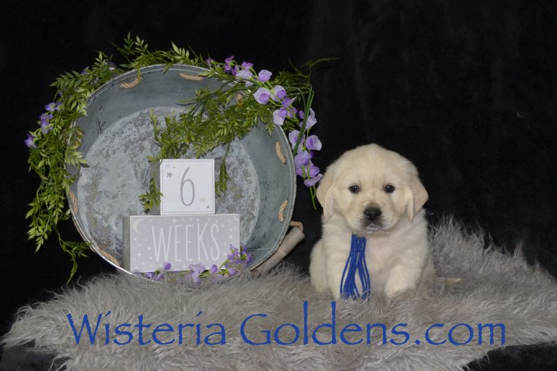 Keeva Litter Born 01-06-2019 Six Week Pictures English Cream Golden Retriever puppies for sale Wisteria Goldens Bred with HEART AKC Registered English Golden