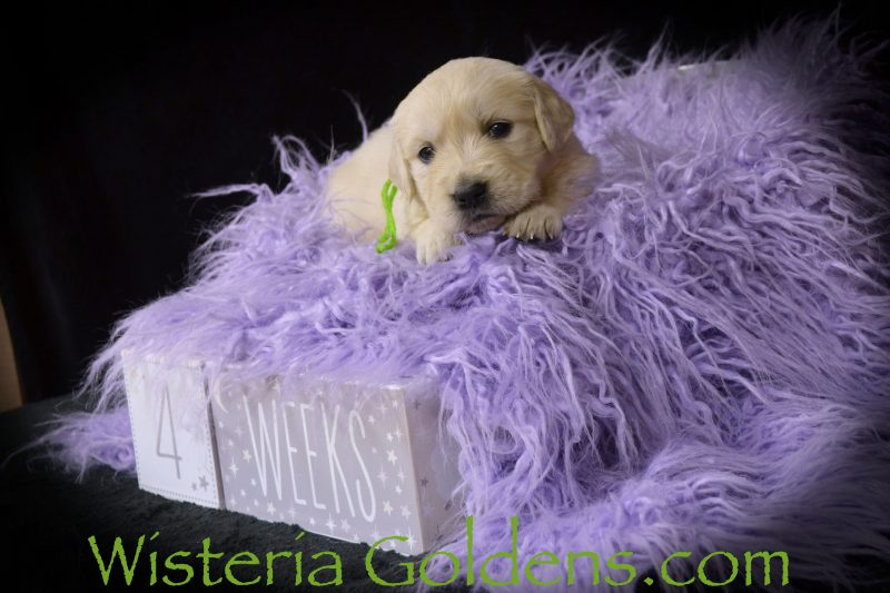 Keeva Litter Born 01-06-2019 Four Week Pictures English Cream Golden Retriever puppies for sale Wisteria Goldens Bred with HEART AKC Registered English Golden Retriever Our puppies are given lots of love (and so much more) as part of our family... until they become part of yours. Go to www.wisteriagoldens.com for more details about our foundational start program, new puppy owner training guide, puppy and adult dog training for families of Wisteria Goldens, and detailed buyer information. Contact us if you have any questions.