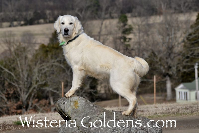 adult dog for sale Lucky (Sailor/Chance) Born 11-17-2017 #sailor111717 English Cream Golden Retriever Trained Adult Dog for sale. Wisteria Goldens Bred with HEART AKC Registered English Golden