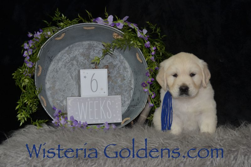 Marley Litter Born 01-10-2019 Six Week Pictures Marley/Chance English Cream Golden Retriever puppies for sale Wisteria Goldens Bred with HEART AKC Registered English Golden #marley011019 #puppypictures