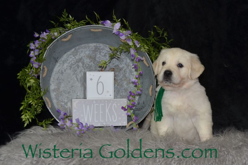Ryder Green Boy Trained puppies for sale Marley Litter Born 01-10-2019 Six Week Pictures Marley/Chance English Cream Golden Retriever puppies for sale Wisteria Goldens Bred with HEART AKC Registered English Golden #marley011019 #puppypictures