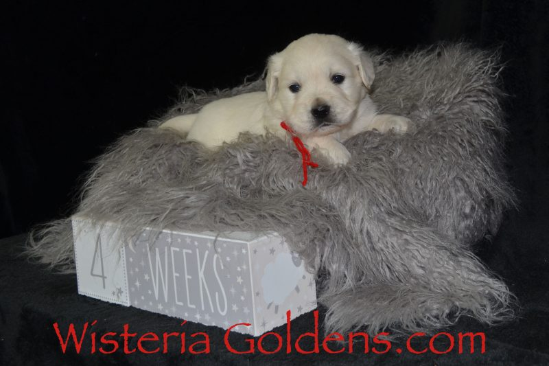 Marley Litter Born 01-10-2019 Four Week Pictures English Cream Golden Retriever puppies for sale Wisteria Goldens Bred with HEART AKC Registered English Golden #marley011019