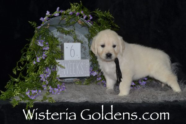 Theo Black Boy Piper litter born 12-30-2018 Six week pictures English Cream Golden Retriever puppies for sale Wisteria Goldens Bred with HEART AKC Registered English Golden #piper123018