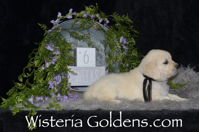 Piper litter born 12-30-2018 Six week pictures English Cream Golden Retriever puppies for sale Wisteria Goldens Bred with HEART AKC Registered English Golden