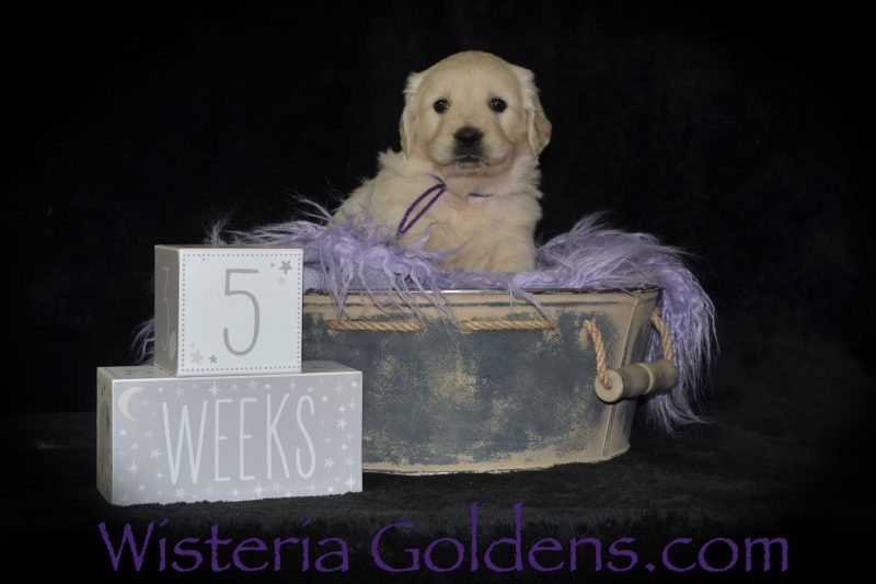 Piper Litter Born 12-30-2018 Five Week Pictures English Cream Golden Retriever puppies for sale Wisteria Goldens Bred with HEART AKC Registered English Golden Retriever Our puppies are given lots of love (and so much more) as part of our family... until they become part of yours. Go to www.wisteriagoldens.com for more details about our foundational start program, new puppy owner training guide, puppy and adult dog training for families of Wisteria Goldens, and detailed buyer information. Contact us if you have any questions.