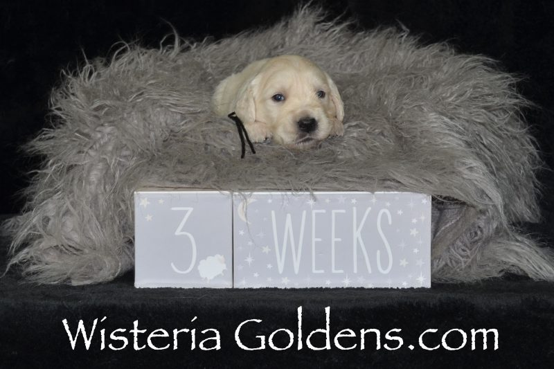 Ranger Black Boy. Starter Trained English Cream Golden Retriever puppies for sale Wisteria Goldens