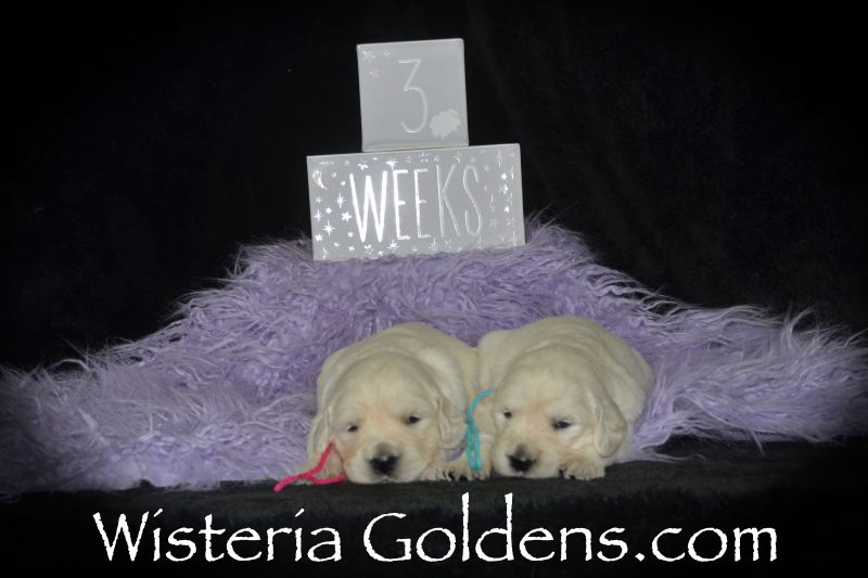 Sailor Litter Born 01-15-2019 Three Week Pictures English Cream Golden Retriever puppies for sale Wisteria Goldens Bred with HEART AKC Registered English Golden Retriever #sailor011519 Litter Mate Social Media Hashtags for families
