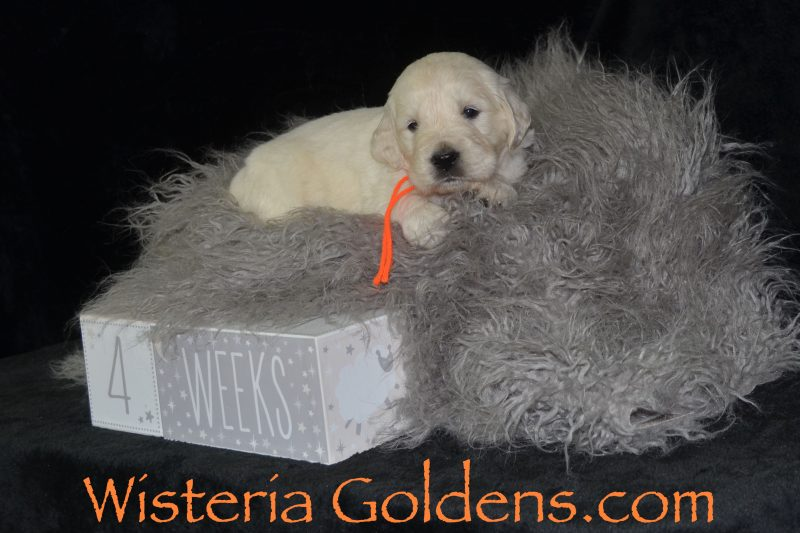 Sailor Litter Born 1/15/19. Sailor/Tahoe Four Week Pictures. English Cream Golden Retriever puppies for sale Wisteria Goldens Bred with HEART AKC Registered English Golden #sailor011519