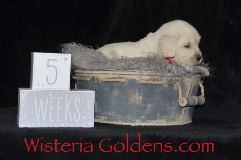 Sailor Litter Born 01-15-2019 #sailor011519 English Cream Golden Retriever puppies for sale Wisteria Goldens Bred with HEART AKC Registered English Golden Five Week Puppy Pictures Availability Update Contact us for purchasing your own Wisteria Goldens English Cream Golden Retriever puppy with our specially packaged buyer resources including a Family Puppy Photo Book, Microchip with lifetime paid registration (you just need to keep your information up-to-date on a regular basis), Food and Goodie bag (see our website for details), and each puppy is introduced to basic training, is handled, socialized to daily routines, and most of all given lots of individual attention and love. We raise each puppy as a part of our family until they become a part of yours.