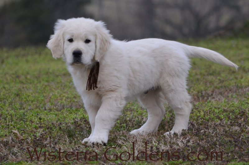 English Cream Golden Retriever Puppies for Sale Wisteria Goldens Bred with HEART AKC Registered English Golden We raise Wisteria English Goldens (aka English Cream) as part of our family until they become a part of yours.